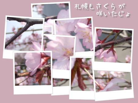 札幌もさくらが咲きました