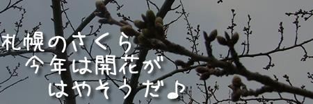 札幌のさくら、今年は開花が早そうだ♪