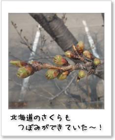 北海道のさくらもつぼみができていた